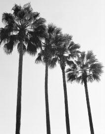 Los Angeles 4 Palm Trees, Black & White Photo, Los Angeles